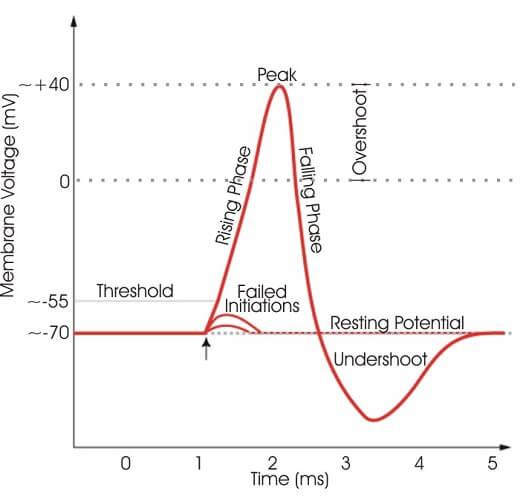 action potential resting polarization depolarization hyperpolarization refractory period