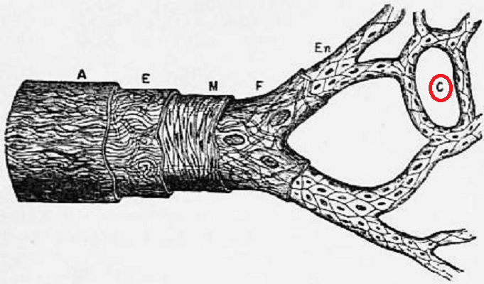 artery capillary endothelium