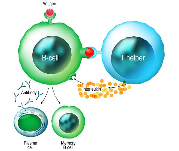 b cell activation humoral immune response immunity