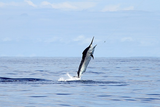 Black marlin jumping out of the water