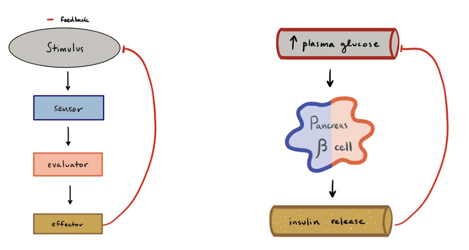 blood glucose regulation plasma pancreas beta alpha cells negative feedback mechanism loop liver glucagon insulin