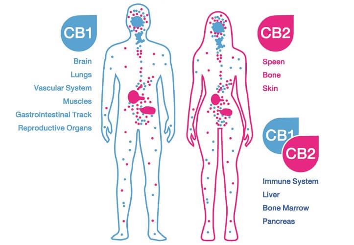endocannabinoid system ECS receptors human body