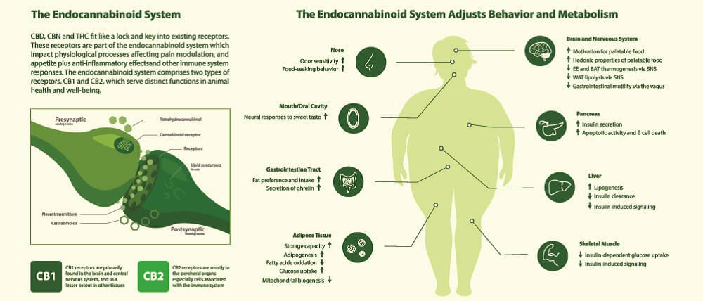 endocannabinoid system obesity weight loss exogenous cannabinoids receptors