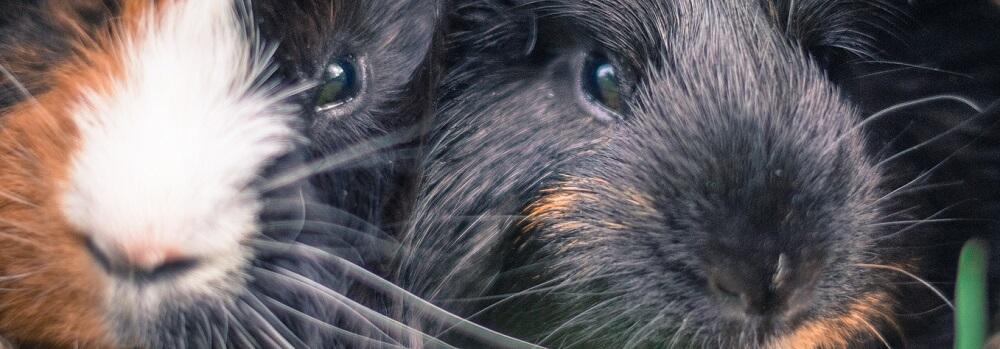 guinea pig cavia close up nose eye noses eyes