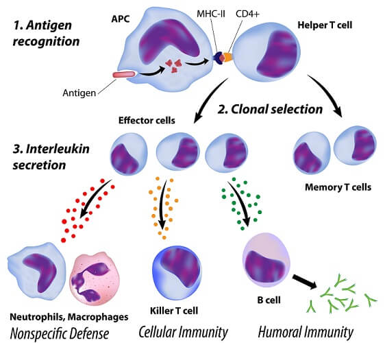 helper T cell activation humoral immunity antibodies