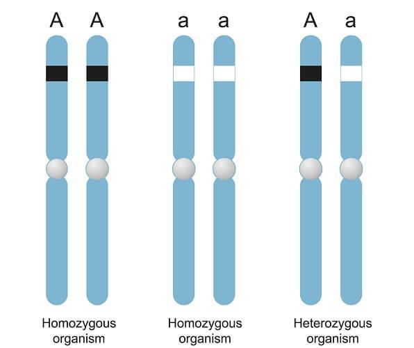 homozygous heterozygous allele gene chromosome phenotype genotype genotypic phenotypic ratio