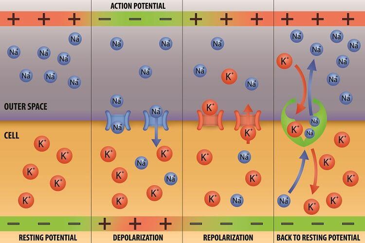 ion channels potassium sodium pump action potential refractory period