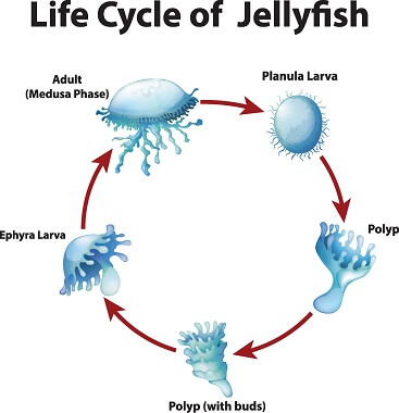 The five stages of a jellyfish lifecycle