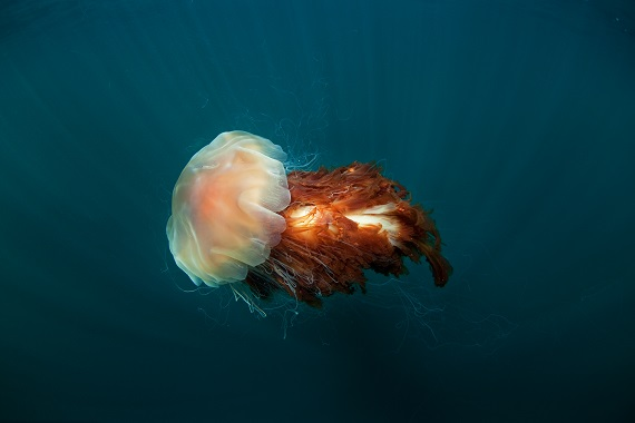 A Lion's mane jellyfish floating in the open ocean