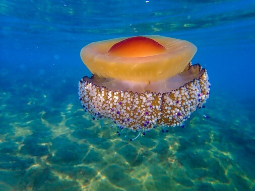 Mediterranean jellyfish floating over a sand bed.