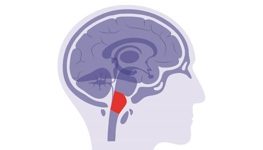 medulla oblongata brainstem foramen magnum