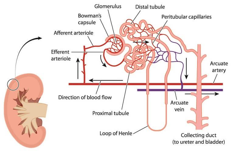 nephron capillaries capillary glomerulus