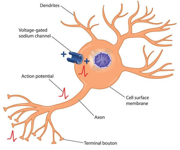 neuron action potential axon dendrite soma schwann cell membrane potential