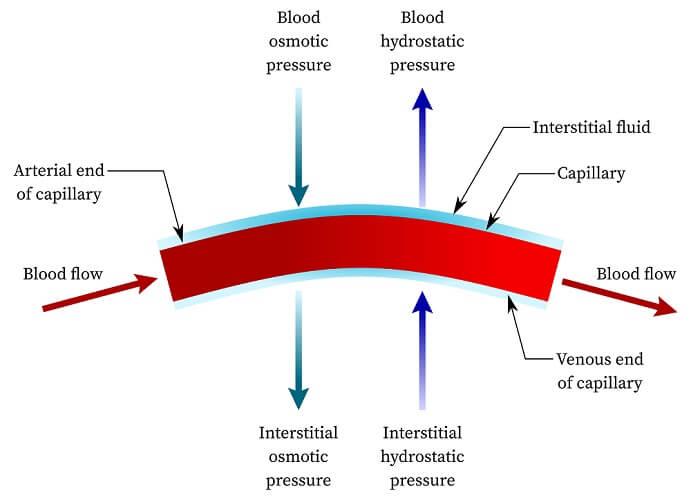osmotic hydrostatic pressure capillary