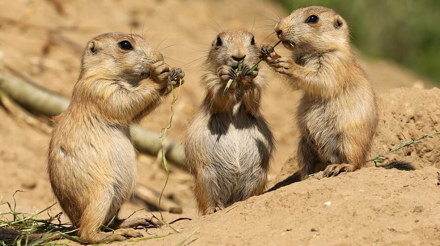 prairie dogs plague carriers zoonotic bacteria