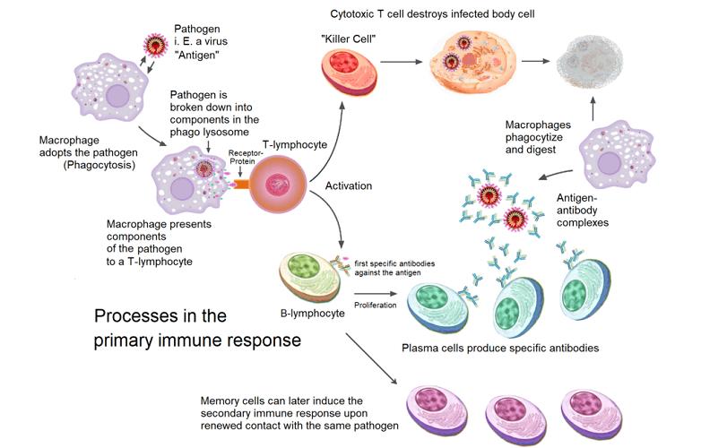 primary immune response humoral immunity