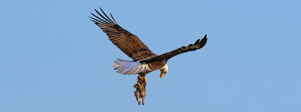 predator prey ecosystem eagle rabbit