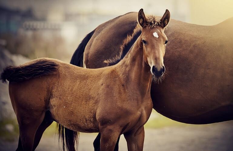 racehorse thoroughbred breeding phenotype