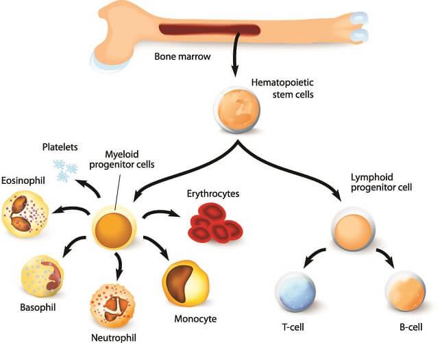red bone marrow hematopoetic blood cells immunity