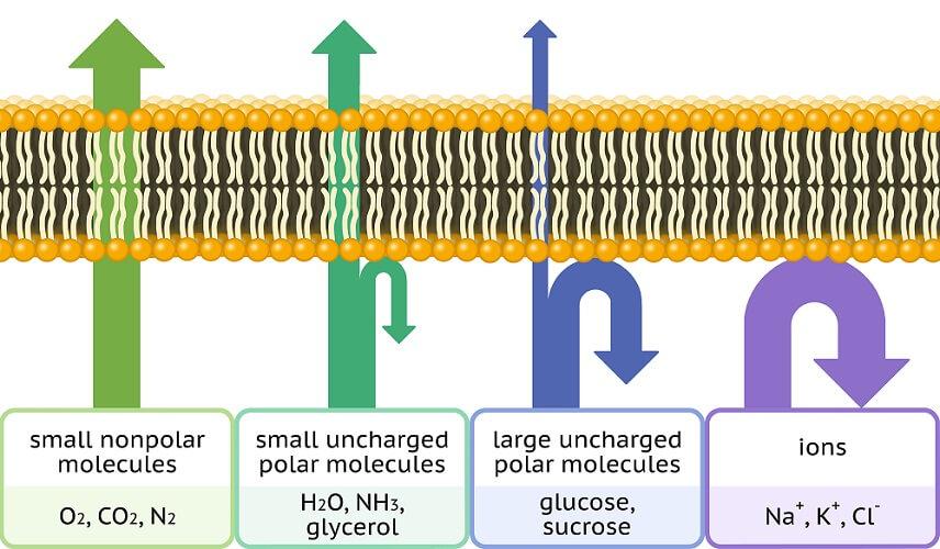 selective permeability cell membrane phospholipid