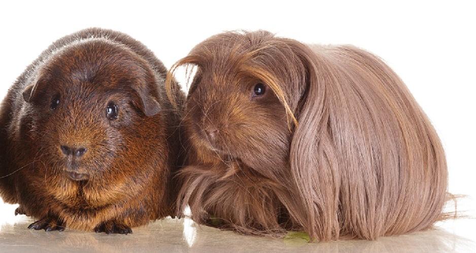 short-haired long-haired guineapig