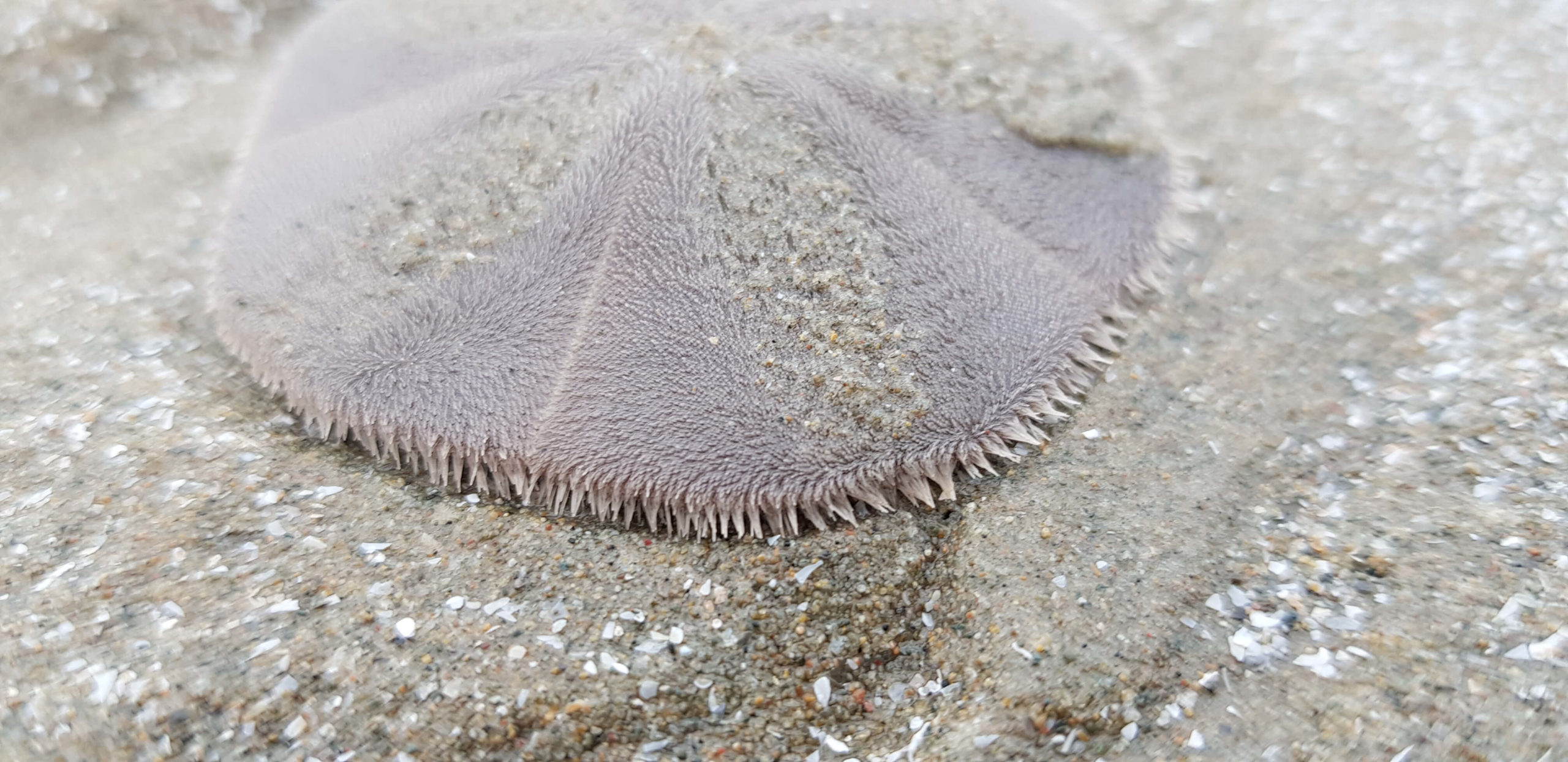 A live sand dollar partially burrowed into the sand
