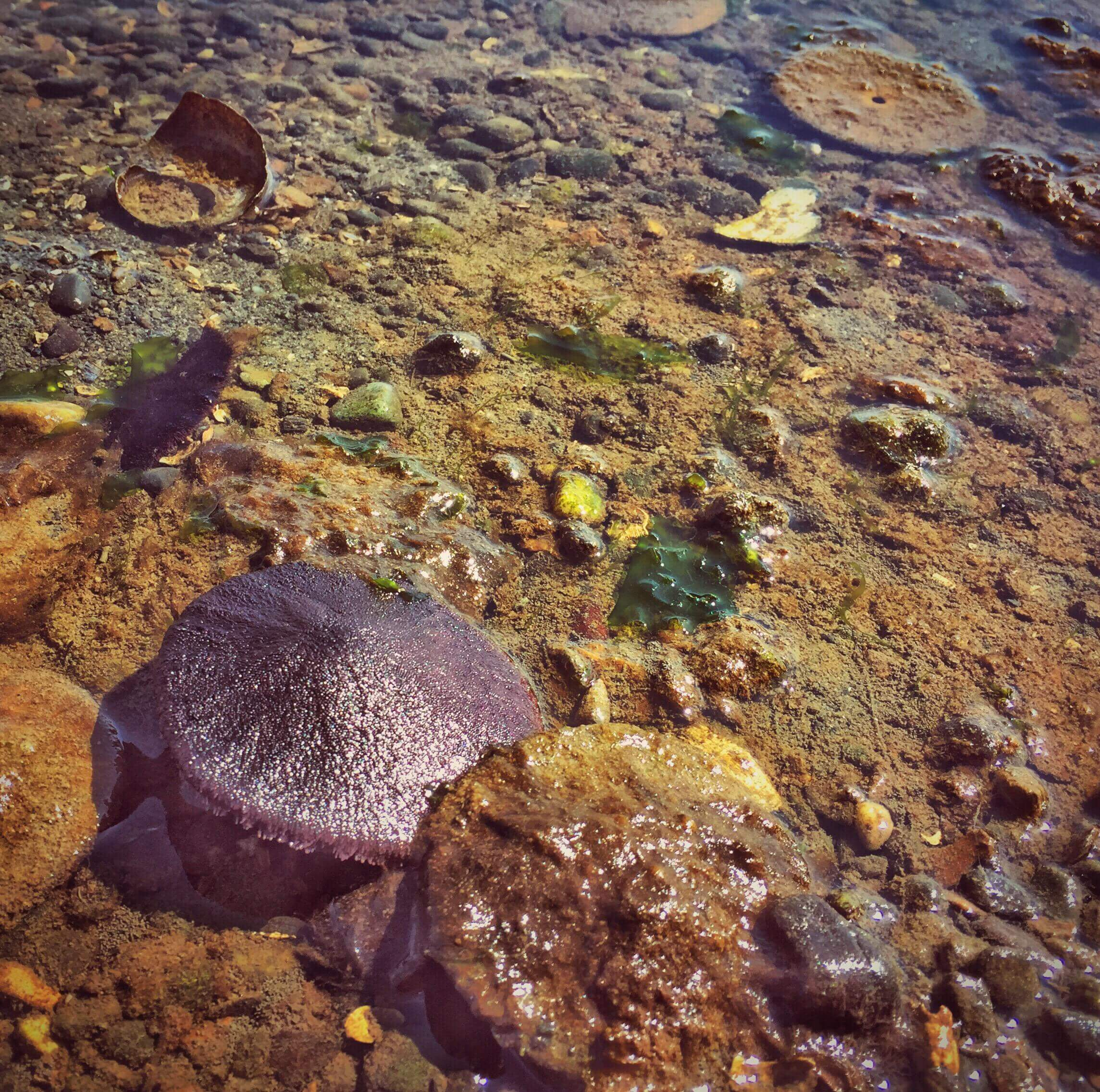 A sand dollar in the intertidal
