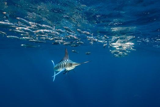 striped marlin hunting smaller fish