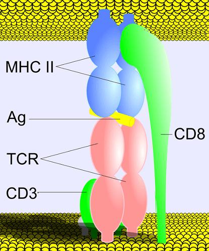 t cell receptor antigen humoral immunity immune response