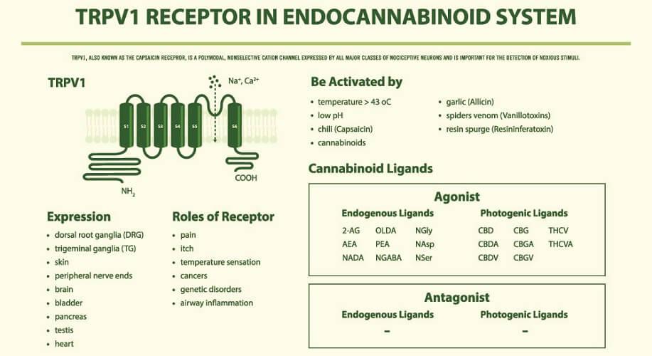 trp receptor pathway endocannabinoid system endocannabinoids exocannabinoids