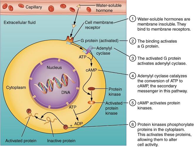 water soluble hormones pathway transport