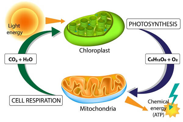 Energy flows from the sun, through chloroplasts, through mitochondria, and eventually to processes in the cell