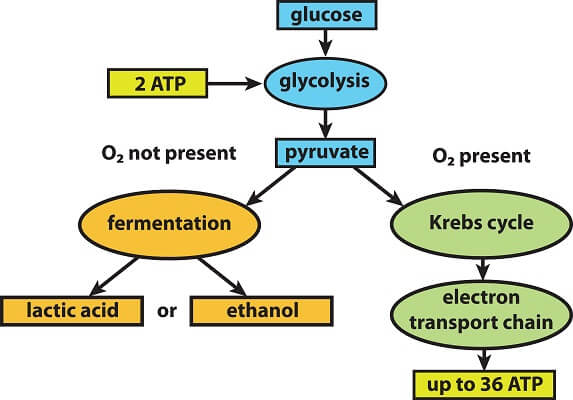 Cellular respiration is anaerobic if oxygen is not present, while cellular respiration can be aerobic if oxygen is present