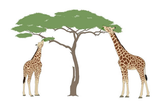 These two adult giraffes feed on the same tree. Which one has a higher fitness?