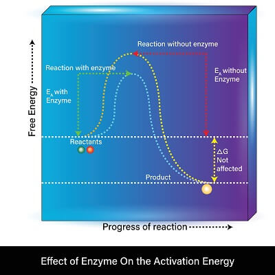 The only difference that an enzyme creates is a lower requirement for activation energy