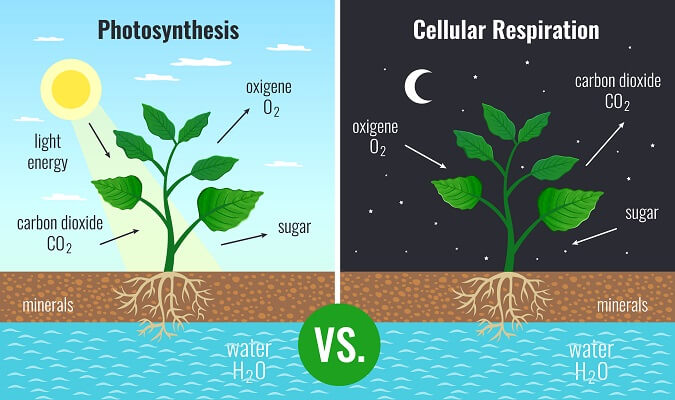 Even plants need mitochondria to conduct aerobic respiration - especially at night when the flow of energy is cut off!