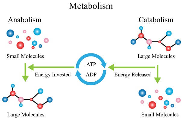 Catabolic and anabolic reactions contain a diverse set of specifically-ordered enzymes to maximize efficiency and reduce energy lost to heat