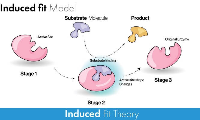 The induced fit model explains how an enzyme lowers the activation energy of a reaction