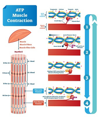 A muscle cell uses a huge amount of ATP!