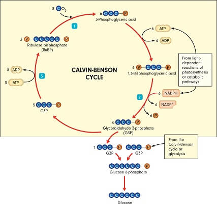 The Calvin cycle uses several enzymes to slowly create glucose by incorporating carbon dioxide molecules into carbon chains