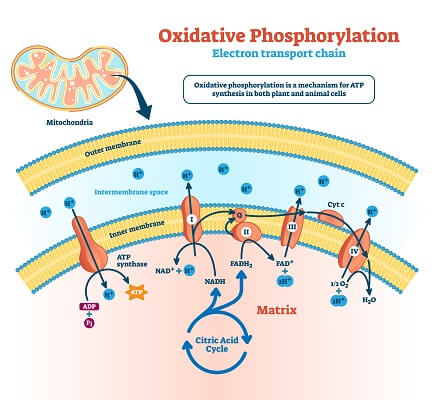 The electron transport chain utilized the energy transferred by electron carriers to power ATP synthase