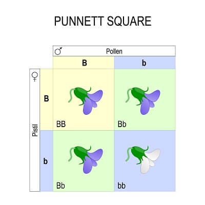 This Punnett square shows how different alleles can create different traits