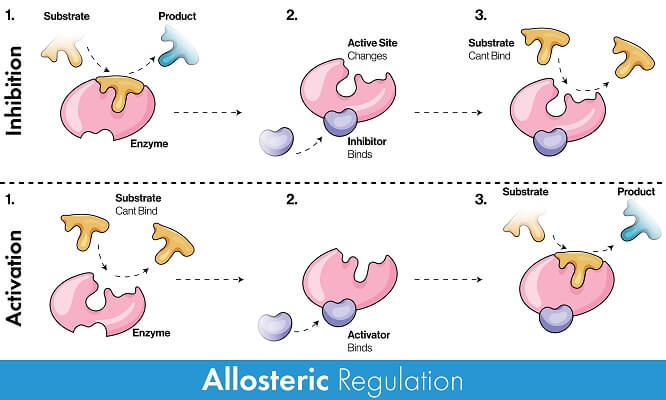Allosteric (non-competitive) inhibitors and cofactors do not bind to the active site, as opposed to competitive inhibitors