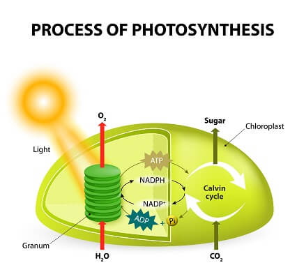 The total process of photosynthesis requires both the light-dependent reactions and the light-independent reactions!