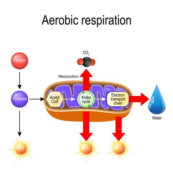 Pyruvate is used in aerobic respiration