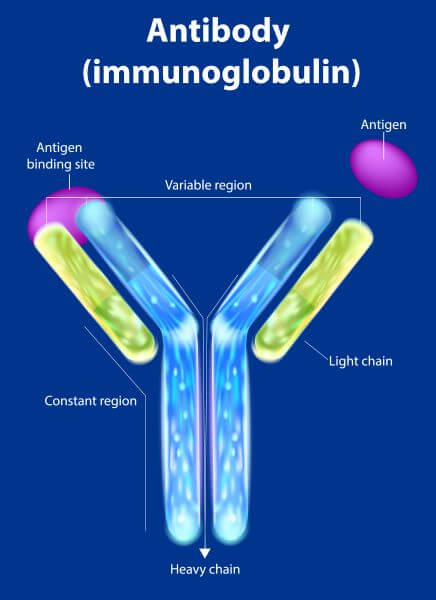 Antibodies are Y-shaped proteins