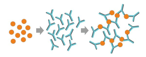 Antigens and antibodies bind to form antigen-antibody complexes
