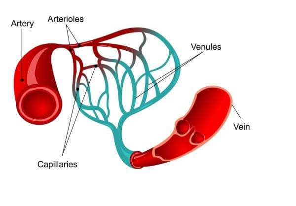 Capillaries are tiny blood vessels connecting the arteries and veins