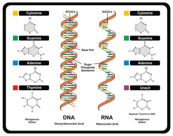DNA vs. RNA structure