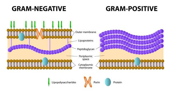 Gram-positive and gram-negative bacteria are distinguished by their cell wall structure